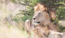 Addo – In Search on Panthera Leo King of the Jungle